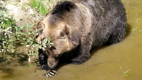 Motion of brown bear finding food in the pond with 4k resolution Live Action