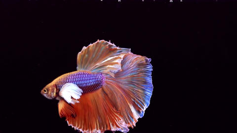 Siamese Fighting Fish Betta Splendens Footage