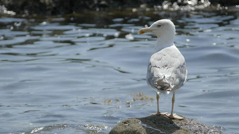 Seagull Sitting On Seaweed Rock In Front Of Sea Water Slow Motion Footage