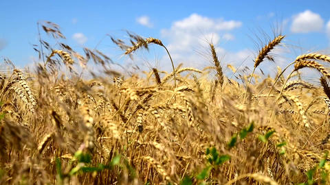 Ripe yellow ears of wheat against the blue sky Footage