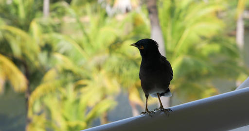 The bird Mynah on the balcony in Thailand Acción en vivo