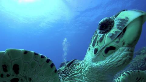 Turtle Swimming in Blue Water Footage