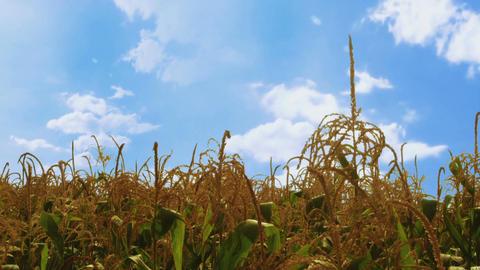 Corn plants waving in the wind ビデオ