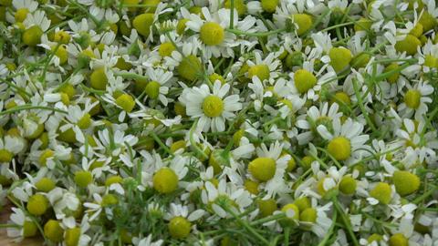Rotating fresh medical chamomile background Footage