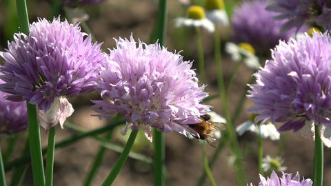 blossoming onions flowers in summer and bumblebee Footage