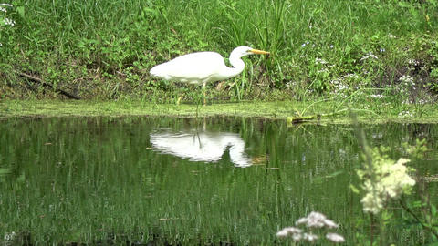Beautiful great white heron hunting on lake coast Footage