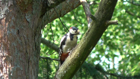 Great spotted woodpecker in summer pine tree Footage