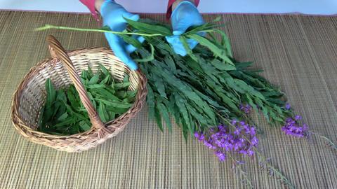 Herbalist picking leaves from fireweed ivan-tea Epilobium angustifolium Live Action