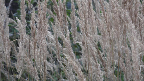 Common reed flower blowing in the wind, reed sway in the wind,reed field in summ Footage