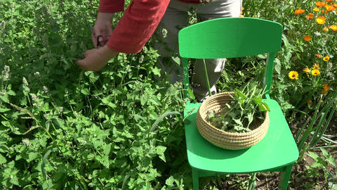 herbalist picking fresh medical lemon balm mint plants Footage
