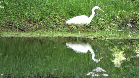 Lonely great white heron Egretta alba hunting on pond coast Footage