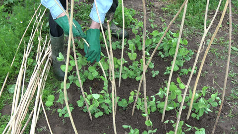 Gardener dig dry wooden sticks for young peas sprouts Footage