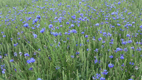 Wind in green field with wheat and cornflowers, nature background Footage