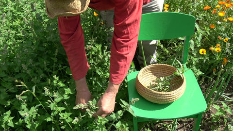 Herbalist picking fresh medical lemon balm mint plants Live Action