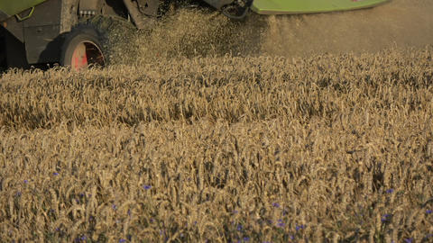 Combine harvester harvesting wheat in summer field Footage