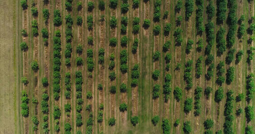 Apple trees from above, Cinema 4k aerial view on a lot of apple trees, in a Footage
