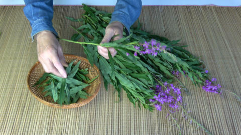 Picking medical herb leaves from wild fireweed ivan-tea Footage