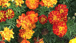 The flower Tagetes patula in the garden. Marigold Tagetes patula flowers. Beauti Footage