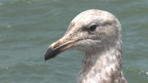 Seagull Sitting By the Bay at Pier 39 San Francisco Footage