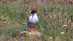 Arctic Tern Footage