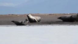 Iceland Seals on the shore Footage