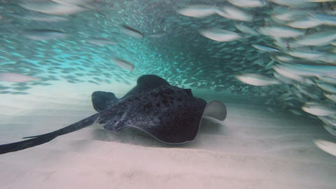 Stingray In Ocean 0