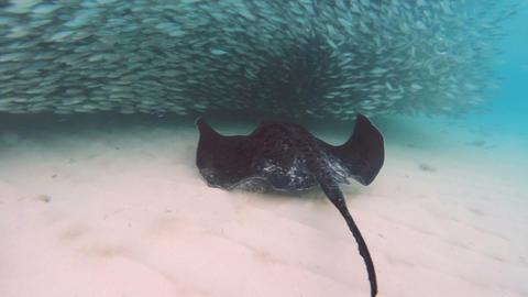 Stingray In Ocean 2