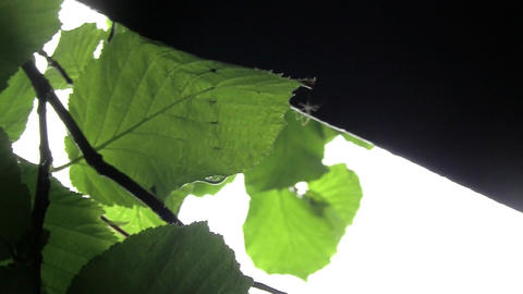 After a heavy rain spring rain drops falling on leaves. A small spider, it house Footage