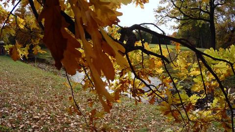 Yellow oak leaves. 4K Footage