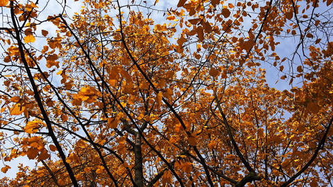 Poplar tree with yellow leaves. 4K Footage