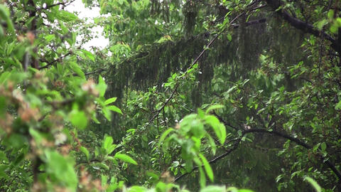 Heavy rain of spring in the garden. Rain wet green plants that have leaves wet.  Footage