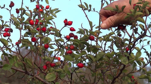 Picking Rosehips. A Man Gathers By Hand From A Wild Rose Rosehip 1 stock footage
