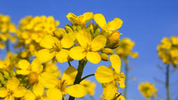 Rape blossoms swaying in the wind Footage