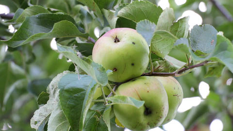 Apples on an apple tree Footage
