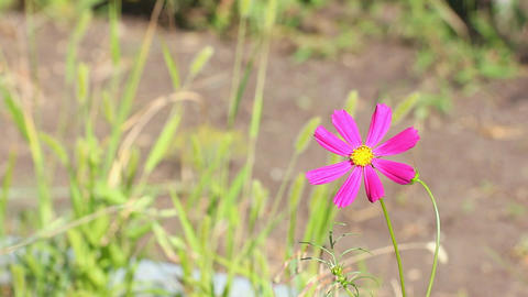Mexican aster flower Footage