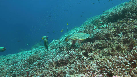 4k Hawksbill turtle on a Coral reef while eating Footage