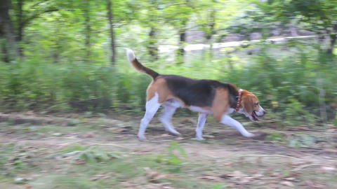 Dog Beagle walks in the woods Footage