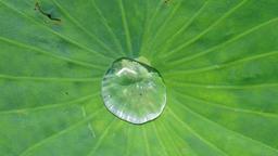 Lotus bubbles,japan Footage
