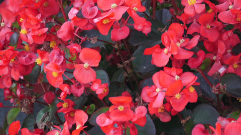 Group of begonia semperflorens plants with red flowers and bronze wax leaves gro Footage