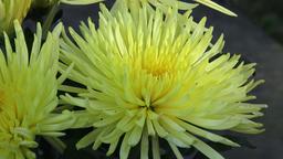 Beautiful yellow chrysanthemum flowers. Closeup shot of blooming yellow chrysant Footage