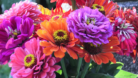 Bright bouquet of multi colored zinnia flowers. A zinnia bouquet of just cut flo Footage