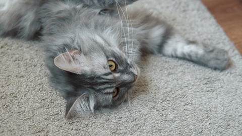Gray fluffy cat resting on the rug Footage