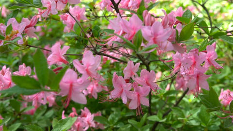 Blooming beautiful pink rhododendrons in the garden Footage