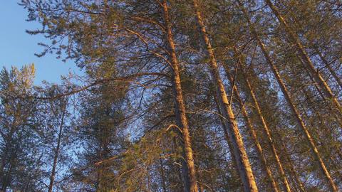 Pine Trees - Northern Sweden, Scandinavia Footage