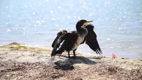 Black cormorant on the seashore spread its wings Acción en vivo