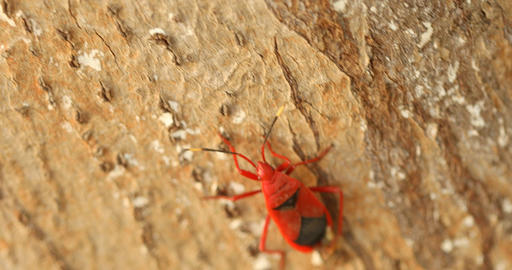 Shield Bug Mating Footage