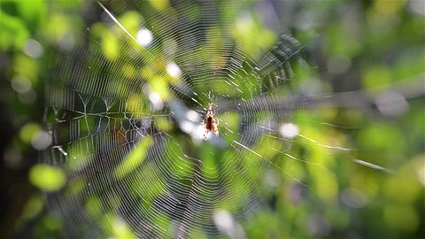Spider on cobweb. Araneae (spiders) is the largest order of arachnids 2a Footage