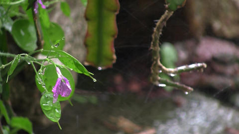 Spring rain big drops that water the flowers in the garden. A purple flower in t Footage