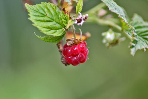 Red berry raspberry with green leaf, close-up Foto