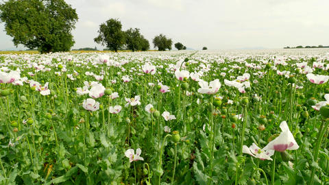 Summer white poppy field. with some waterless places. Blossom of poppies and gre Footage